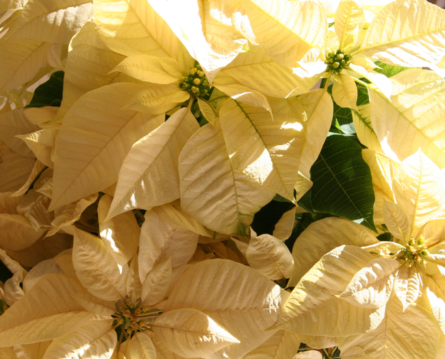 Pointsettias, yellow