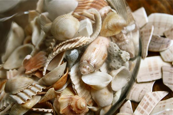 South carolina seashells