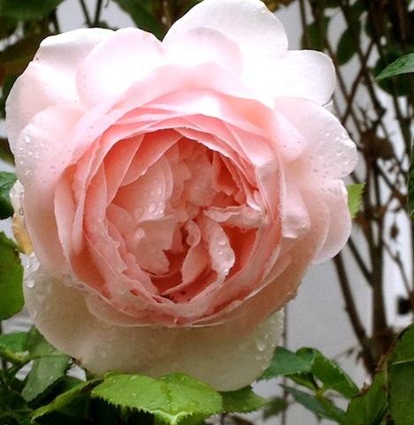 antiqe garden rose