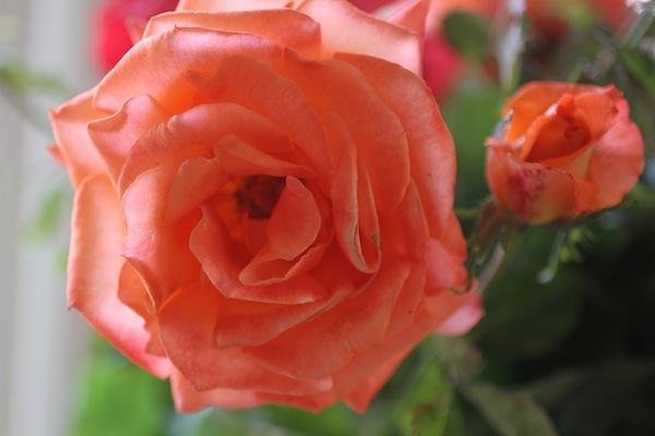 PG_roses11
