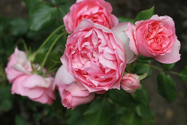 David austin rose _3