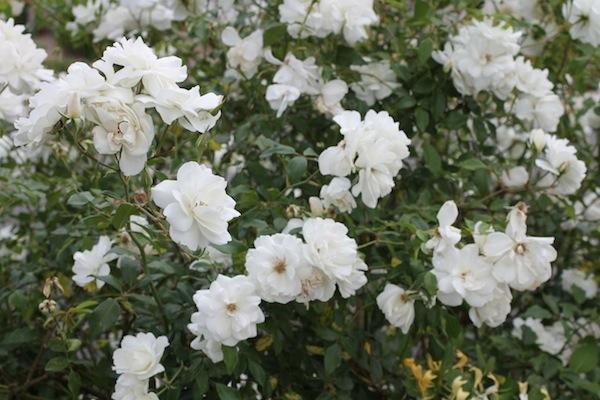 Iceburg roses