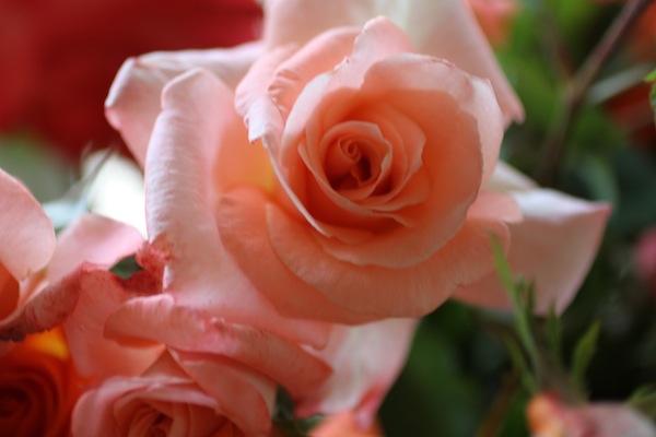 PG_roses13