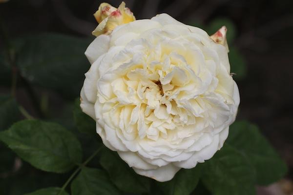 David austin rose _ 1