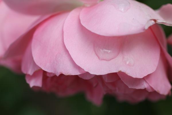 David austin rose_6