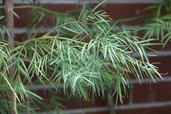 Podocarpus_1