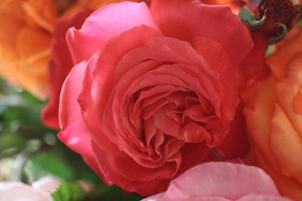 PG_roses14