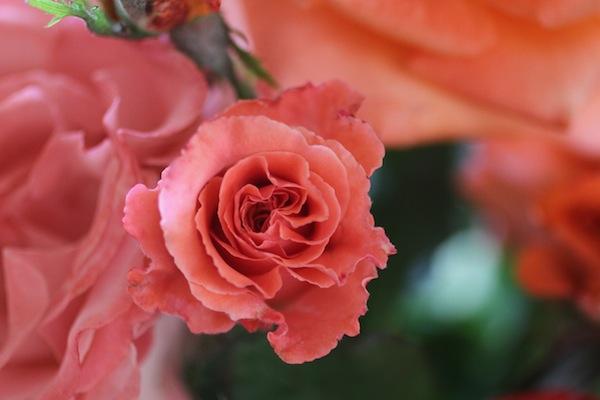 PG_roses8