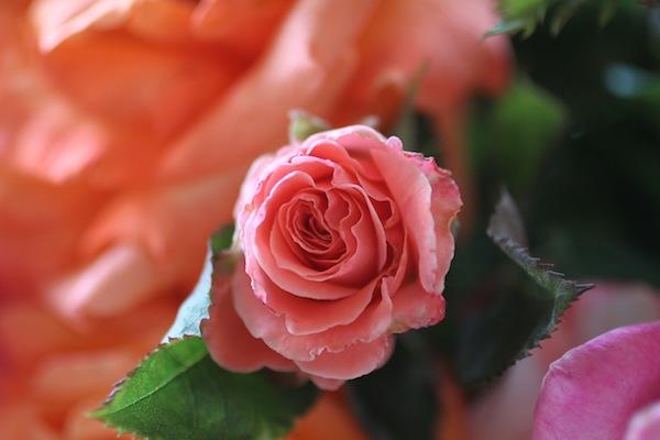 PG_roses12
