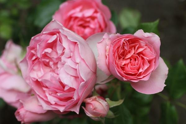 David austin rose_4