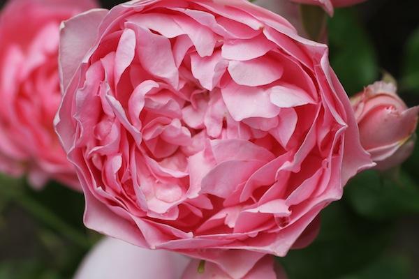 David austin rose_5