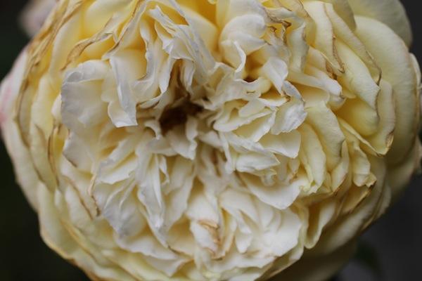 David austin rose_2