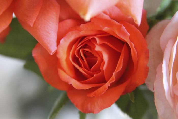 PG roses 7