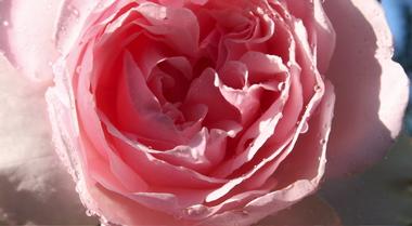 Dewy_rose