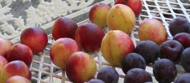 Gathered_fruit