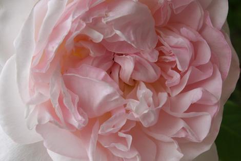 Big_floppy_rose