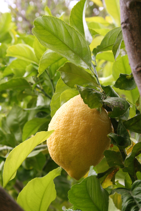 New_lemon_tree