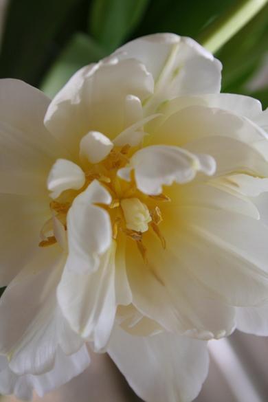 Tulips_3