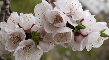 Apricot_tree_blossoms