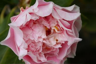 Camellia_blossom