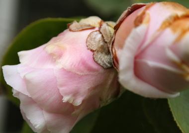 Camellia_buds