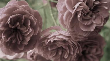 Desaturated_garden_roses