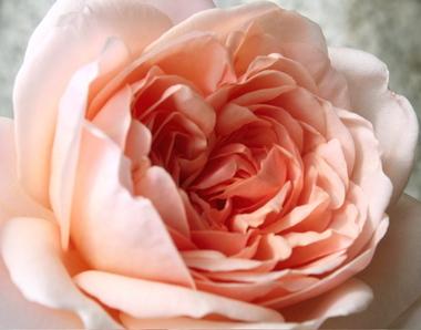 Easter_rose