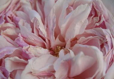 Fading_rose_1
