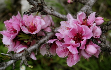 Nectarine_blossoms