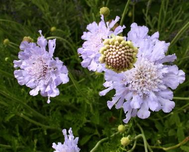 Scabiosa_in_bloom